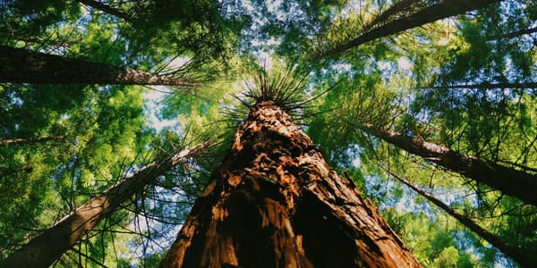 upward view of very tall trees